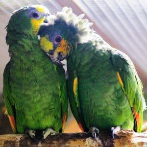 2 amazon parrots allo preening