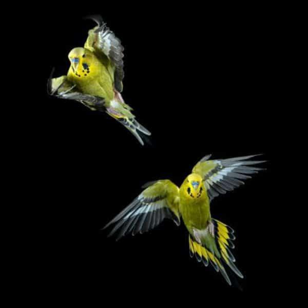 How Do I Train My Birds To Always Fly Back To Me?