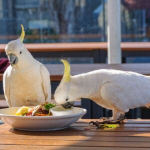 2 sulfur crested cockatoos eating bird chop