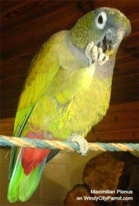 Brighten Pionus blue/green feathers?