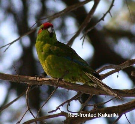 Windy City Parrot Defines Small Size Species of Pet Birds