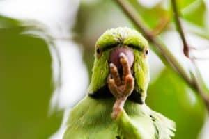Why do parrots enjoy mimicking?