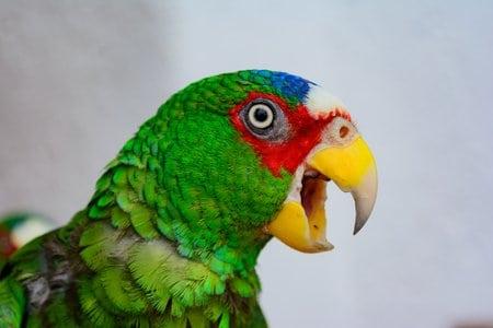 These 5 opera singing amazon parrot videos may worry pavarati