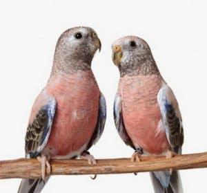 Should I Trim My Bourkes Parakeets Beak and Nails?
