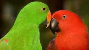 Eclectus Parrots – Great Family Birds