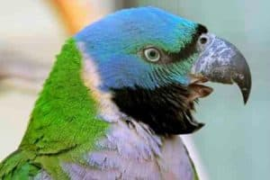 Why do parrots scream a lot?