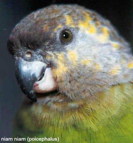 Poicephalus – 9 african parrot species not ending in grey