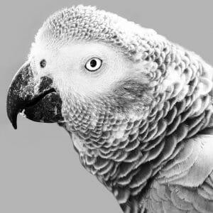African grey parrot close up