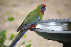 Should You Bathe Cockatoos and Amazon Parrots?