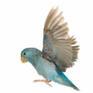blue parrotlet in flight against white background