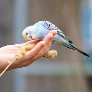 Budgie on womans hans eating millet sprig