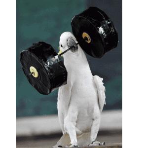 cockatoo with toy barbells in beak