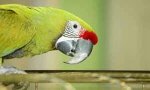 Windy City Parrot Defines Medium Size Species Captive Birds