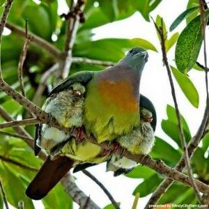 Dove/Pigeon Food
