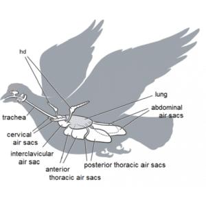 Avian respiration diseases