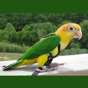 Aviator Flight Harness & Leash for 190 – 425 gram Birds Small Black