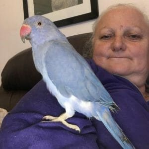 Violet indian ringneck parakeet sitting on owners arm