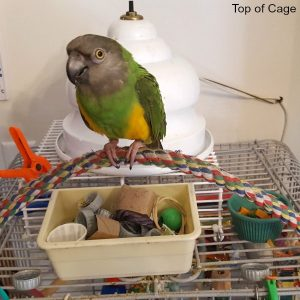 Senega;l parrot on her bird cage