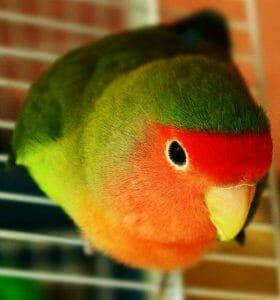 How Do I Fix My Hormonal Regurgitating Lovebird?