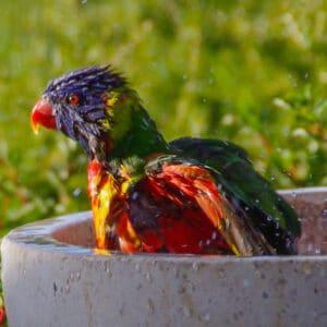 Rainbow lorikeet bath ceramic bowl
