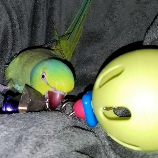 The hundred safest bird toys made today