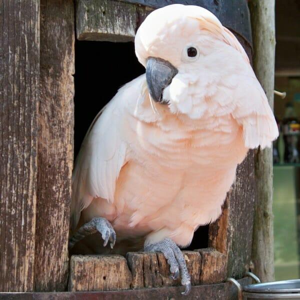 What size pellet should i get for a moluccan cockatoo?