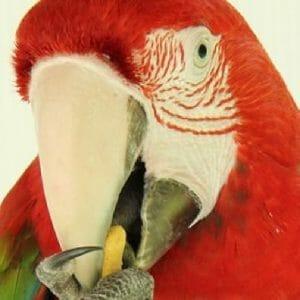scarlet macaw eating a HARI lifetime stick