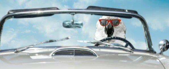 Coockatoo waering red sunglasses driving Thunderbird convertable