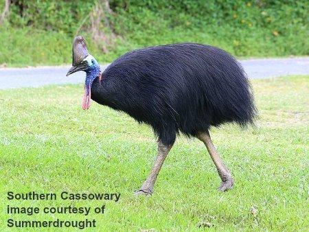 Are Cassowaries Smarter than Emus?