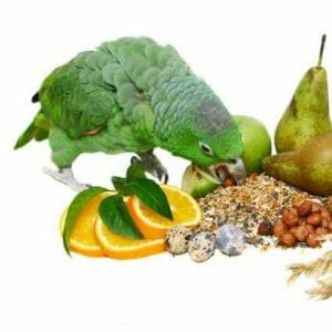 Amazon parrot eating freshing veggies on white background