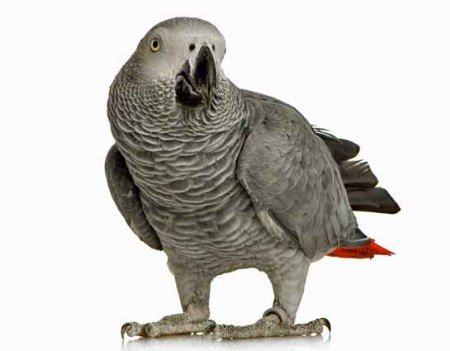 Windy City Parrot Defines Medium Large Species of Captive Birds