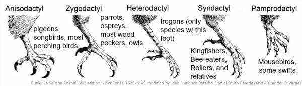 graphic 5 types of birds feet